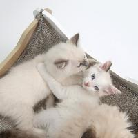 Kit Habitat - Couchage VESPER Meuble Cabana - Blanc et chene - Pour chat