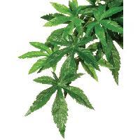 Perle - Bille De Verre - Gravier - Rocher - Pierre Pour Quarium - Terrarium - Vivarium Plante Abutilon 20x55cm - Exo Terra